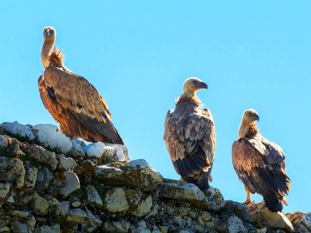 griffon-vultures-cres