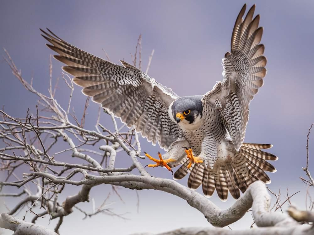 peregrine-falcon-pag