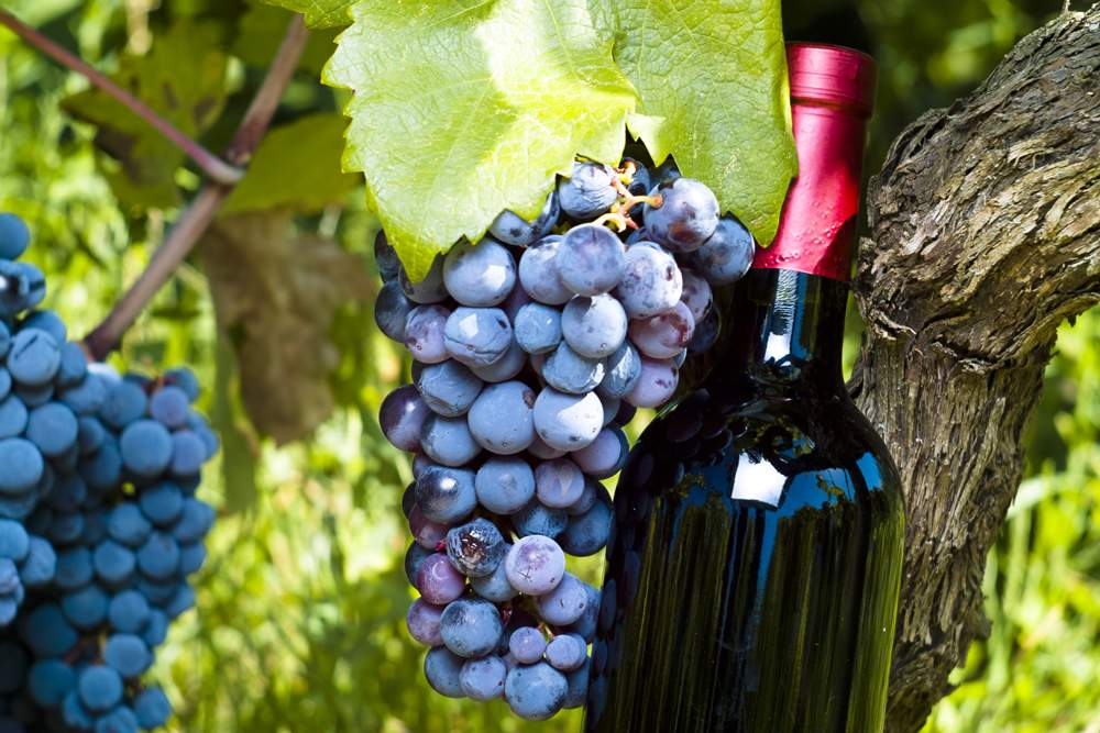 tomic-winery-hvar-grapes