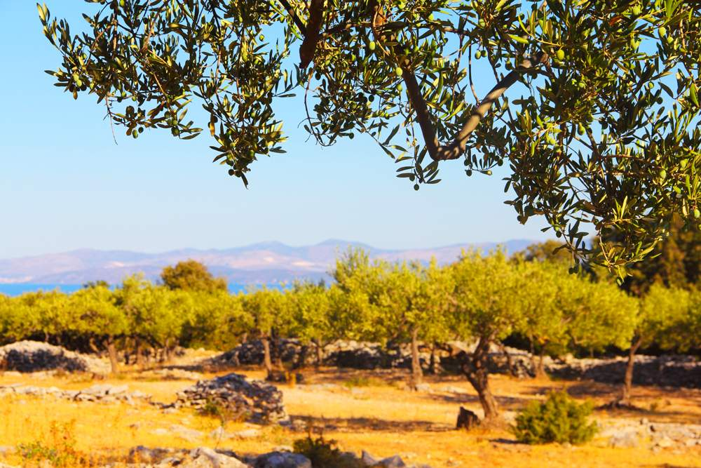 brac-olive-farm-olive-oil